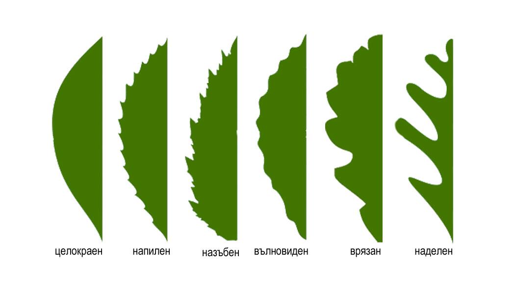 листна петура, растителен лист