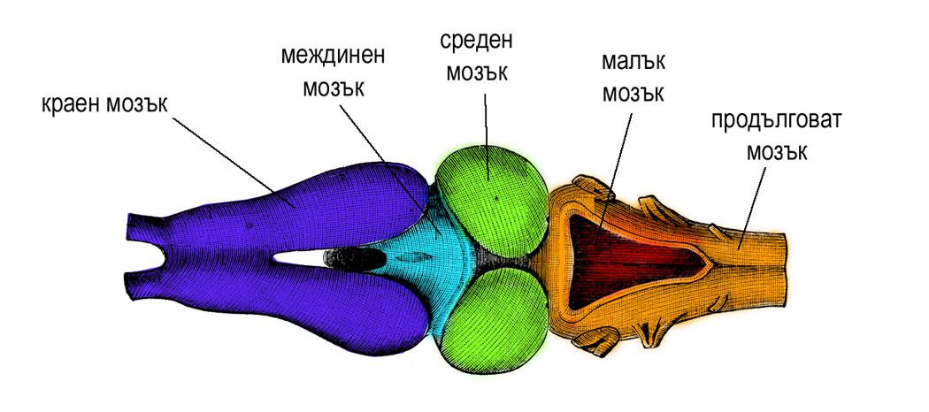 главен мозък на жаба