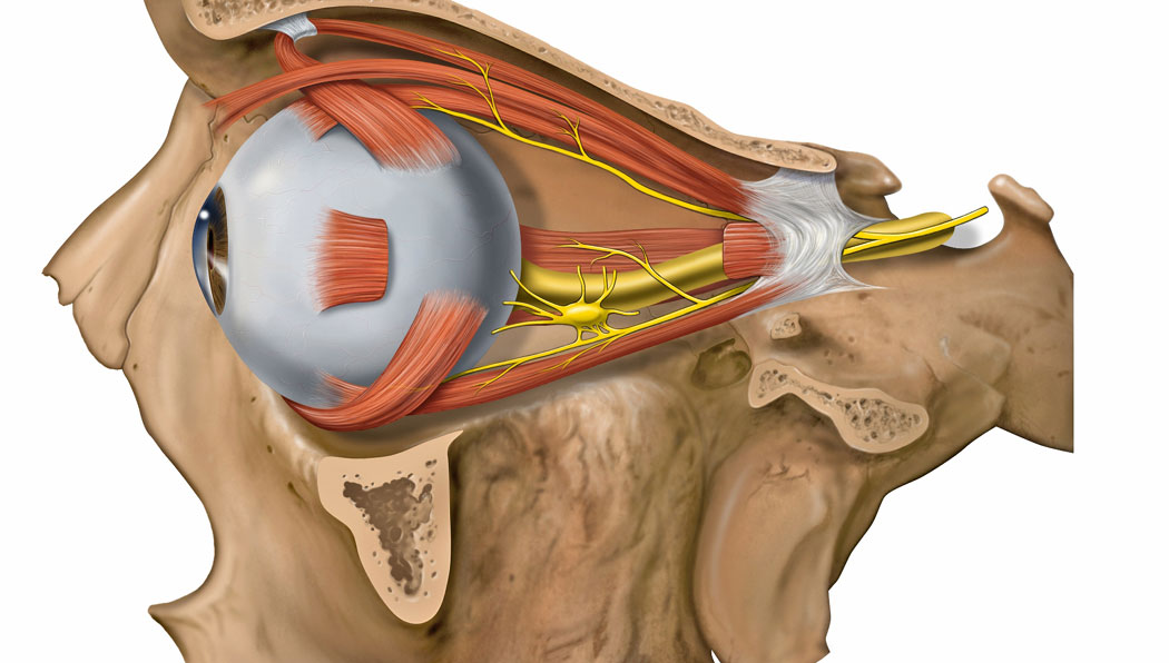 човешко око, зрителна сетивна система