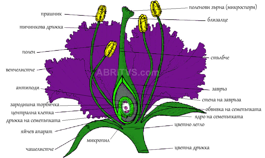 Анатомично устройство на цвят