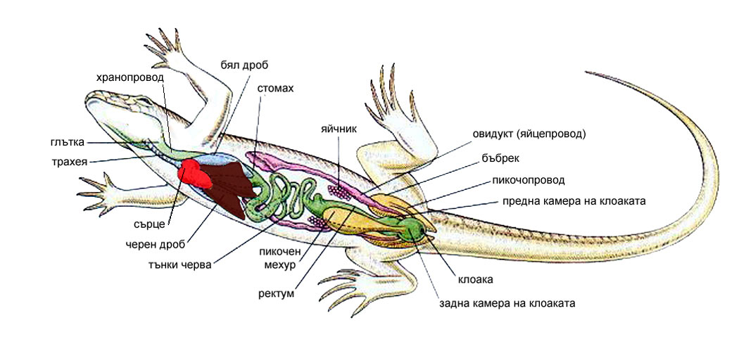 анатомия на гущер