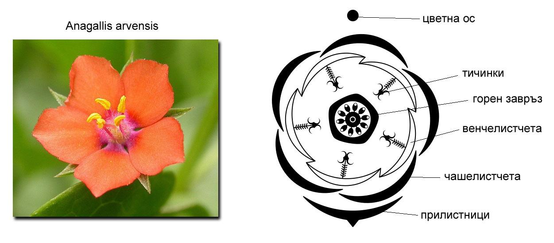 цветна диаграма, растителен цвят