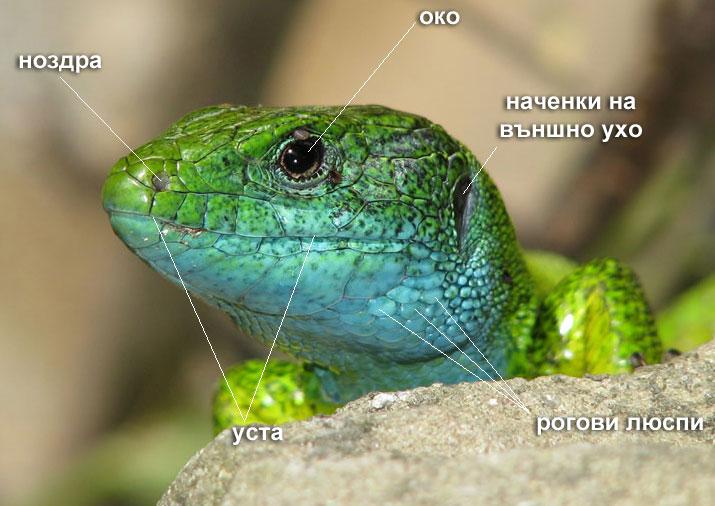 глава на зелен гущер - сетивни органи