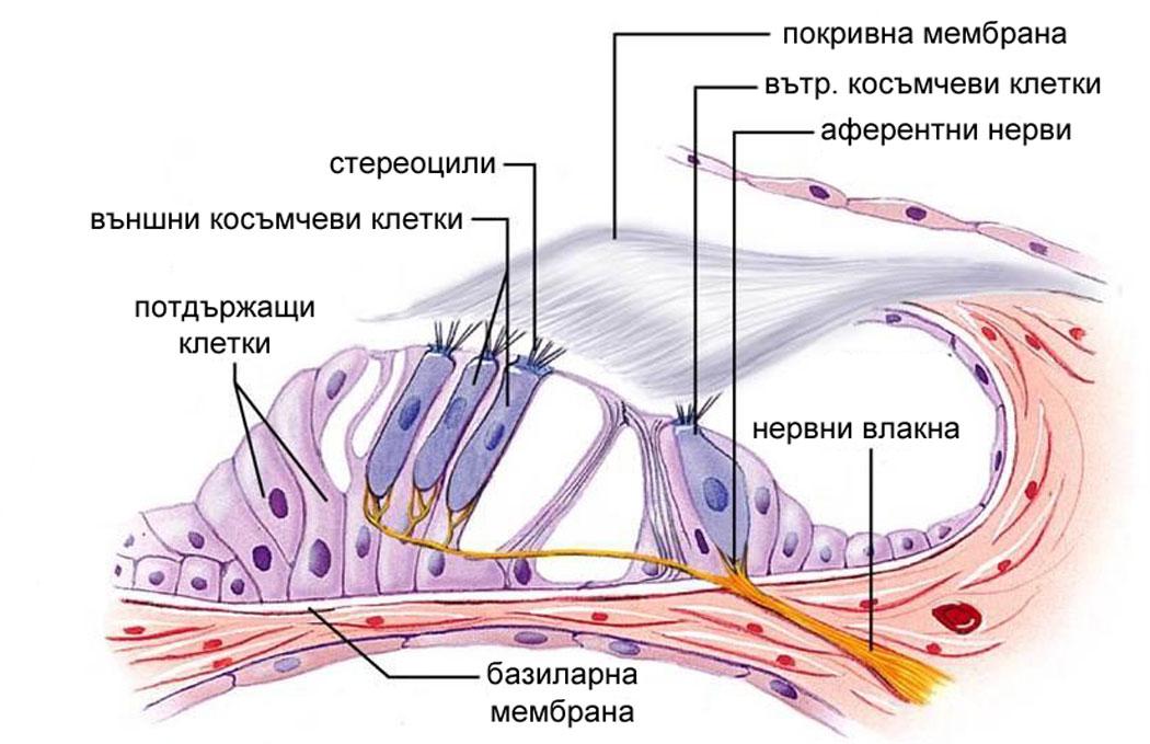 слухова сетивна система - кортиев орган