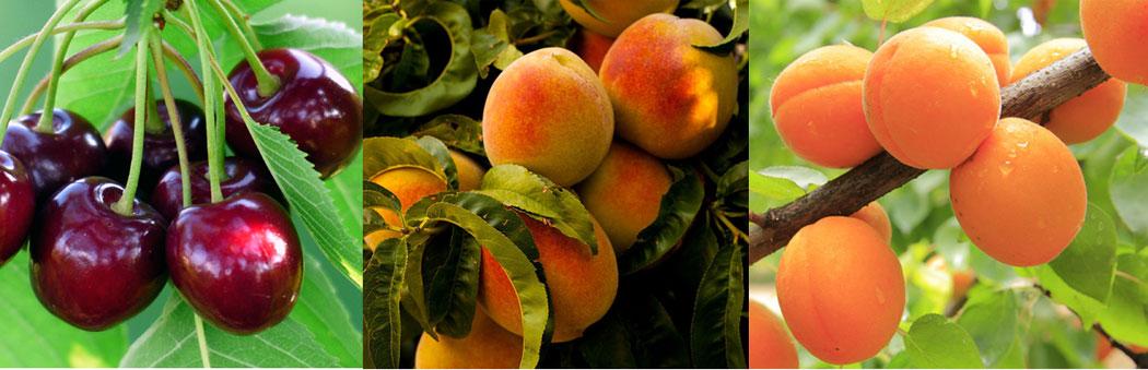 костилкови плодове - череша, праскова, кайсия;