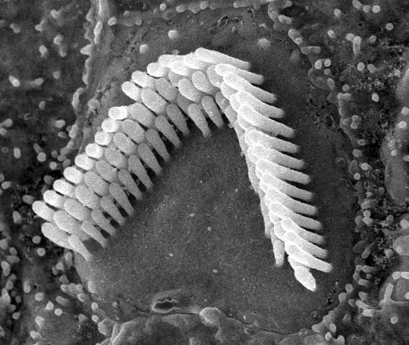 стереоцили, ухо