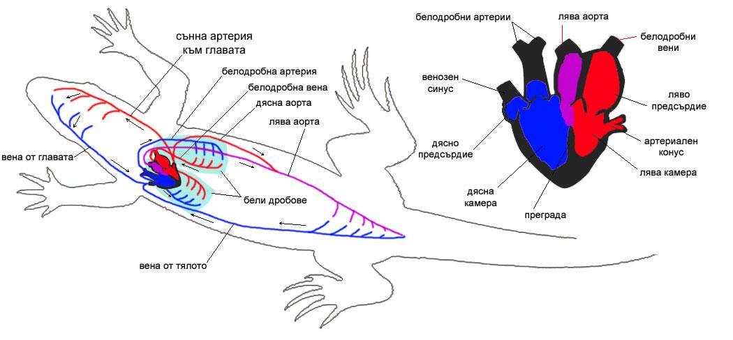 кръвоносна система зелен гущер