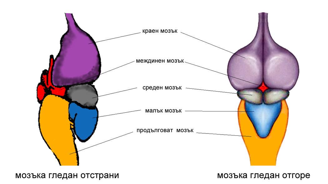главен мозък на влечуги