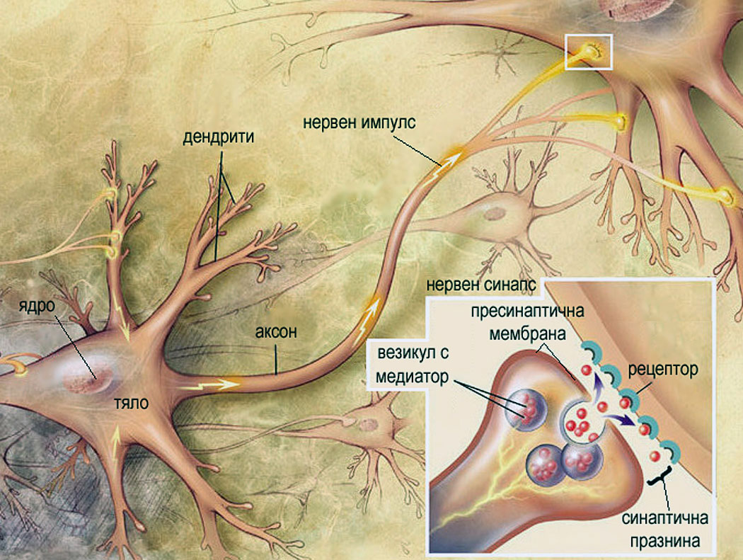 Неврони и нервни връзки - предаване на нервен импулс