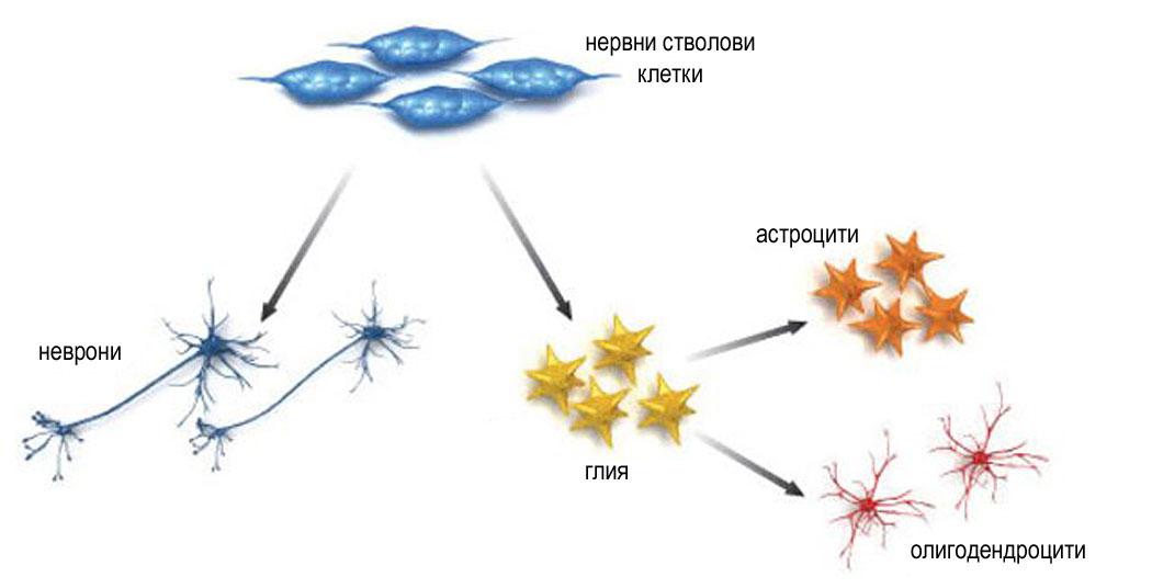 нервни клетки