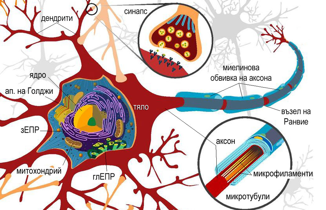 устройство на неврон