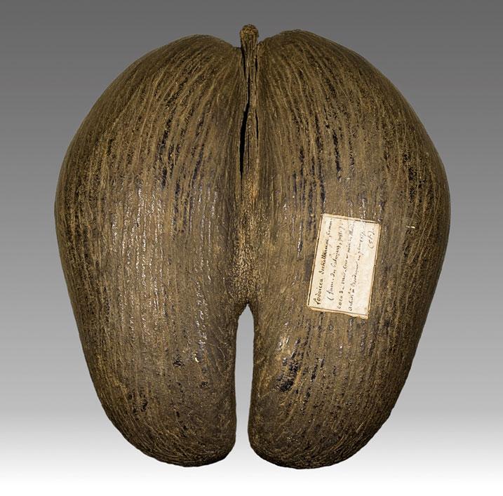 палмово семе