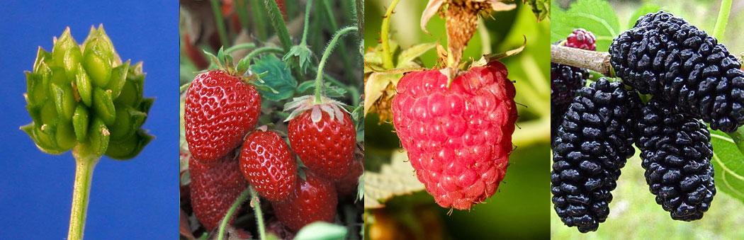 сложни плодове - лютиче (сух сборен), ягода, малина (сочни сборни), черница (съплодие)