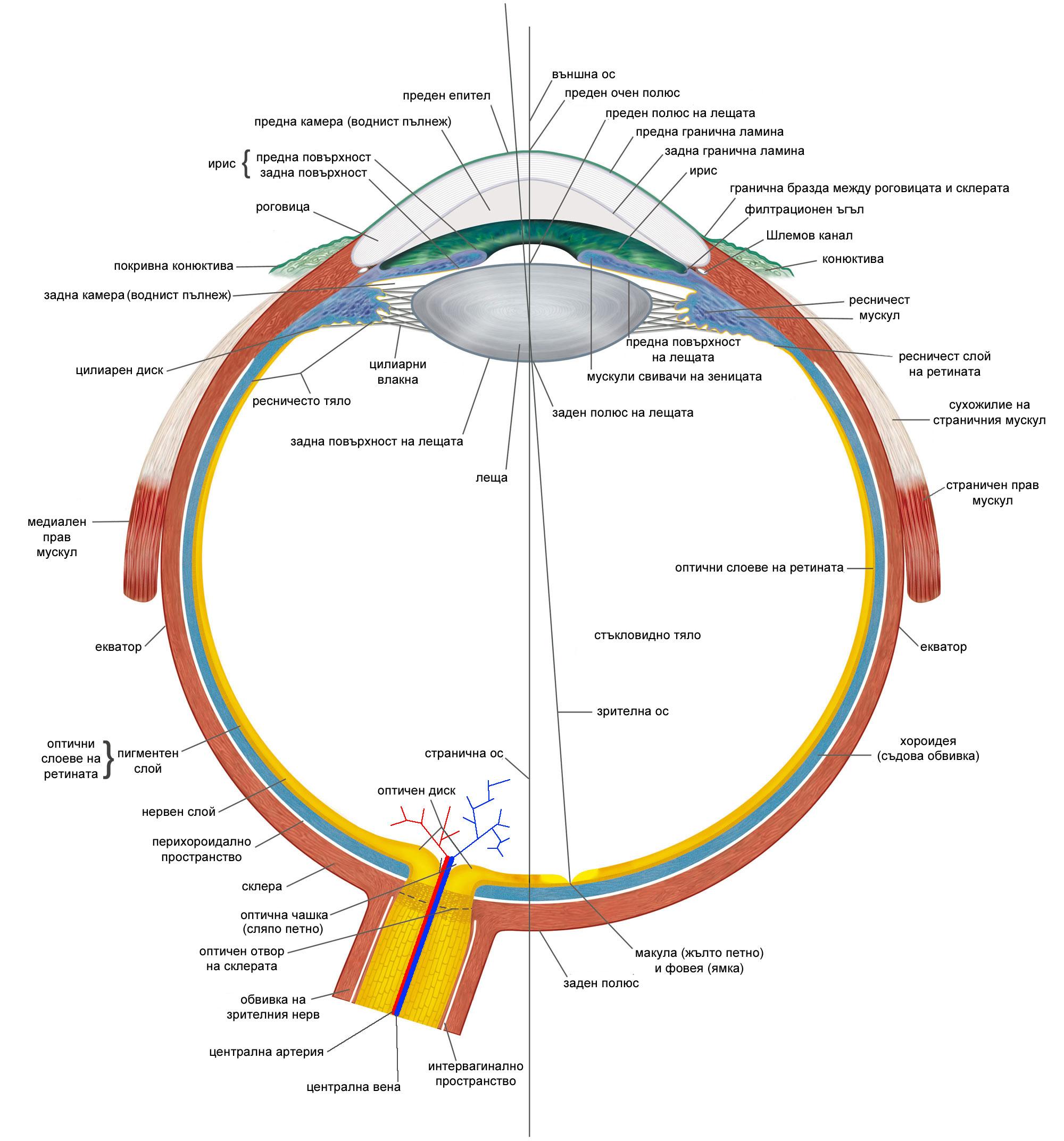 анатомично устройство на око - зрителна сетивна система