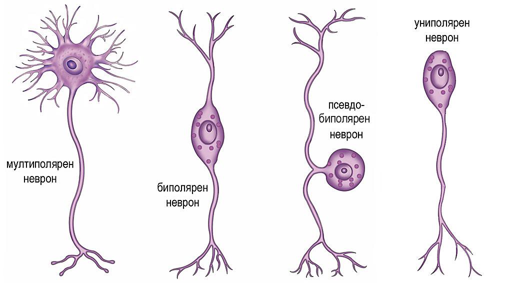 видове неврони според броя и разположението на аксоните
