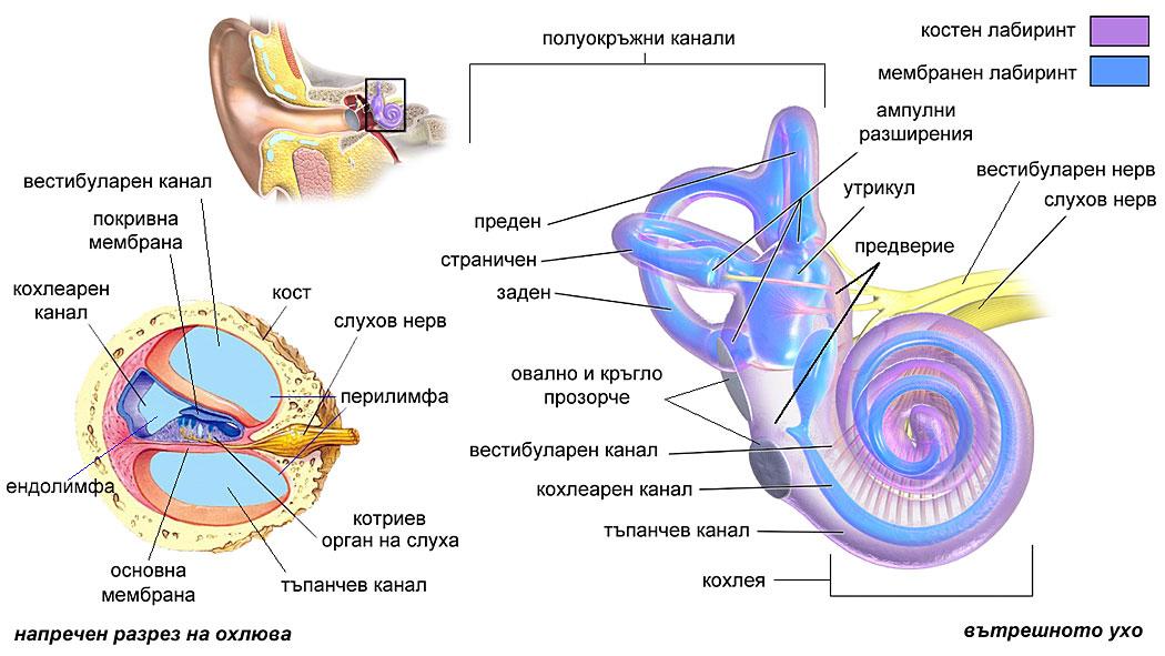 слухова сетивна система, ухо