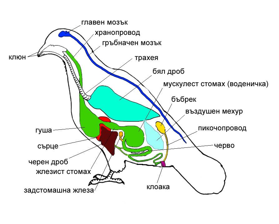 Домашен гълъб -вътрешни органи