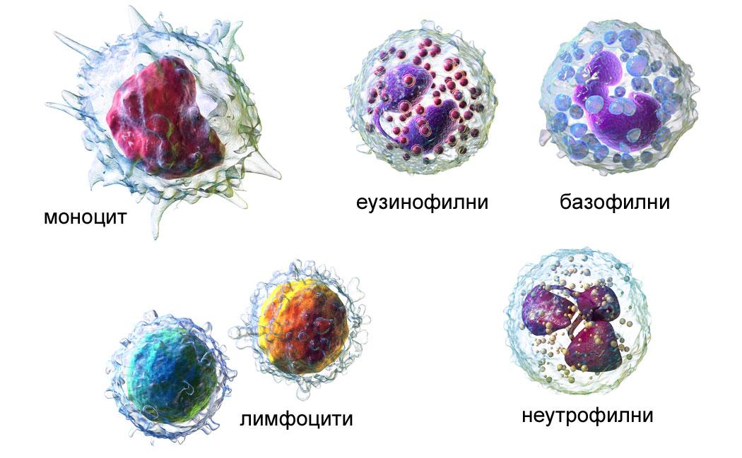 бели кръвни клетки, левкоцити, лимфоцити