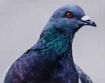 Домашен гълъб – клас Птици (разред Гълъбови)