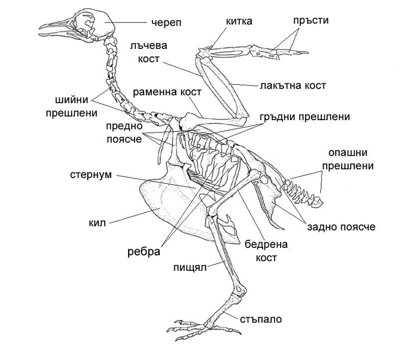 Домашен гълъб - скелет