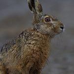 Европейски див заек - клас Бозайници