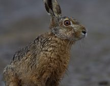 Европейски див заек – клас Бозайници