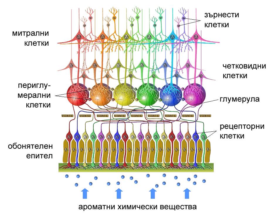 клетки на обонятелната луковица