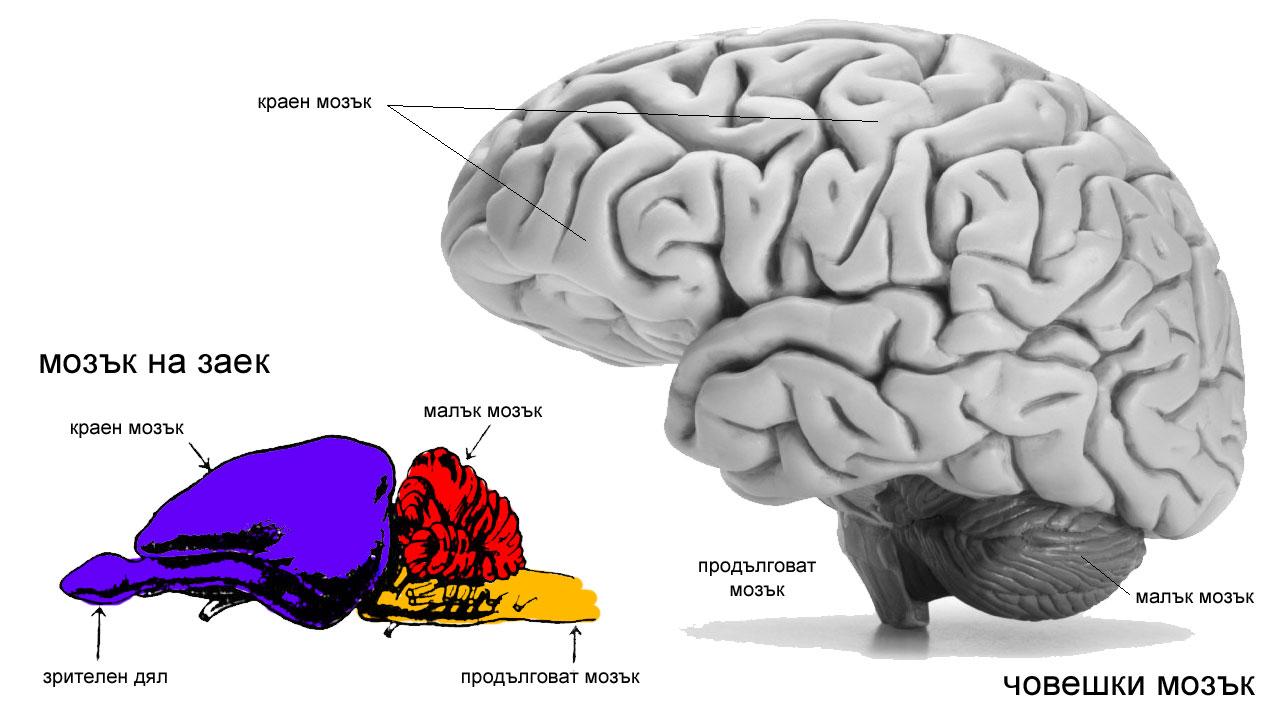 мозък при бозайниците