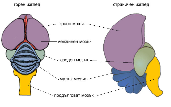 мозък на Домашен гълъб