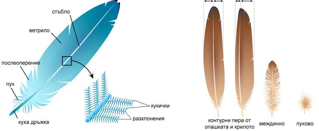 структура на птиче перо