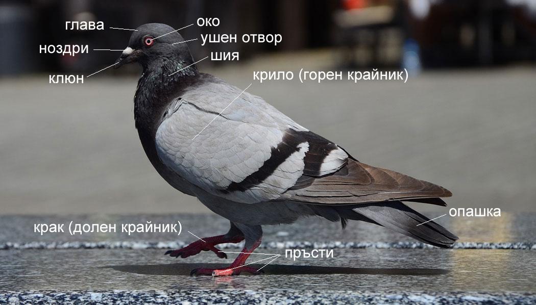 външно устройство на домашен гълъб