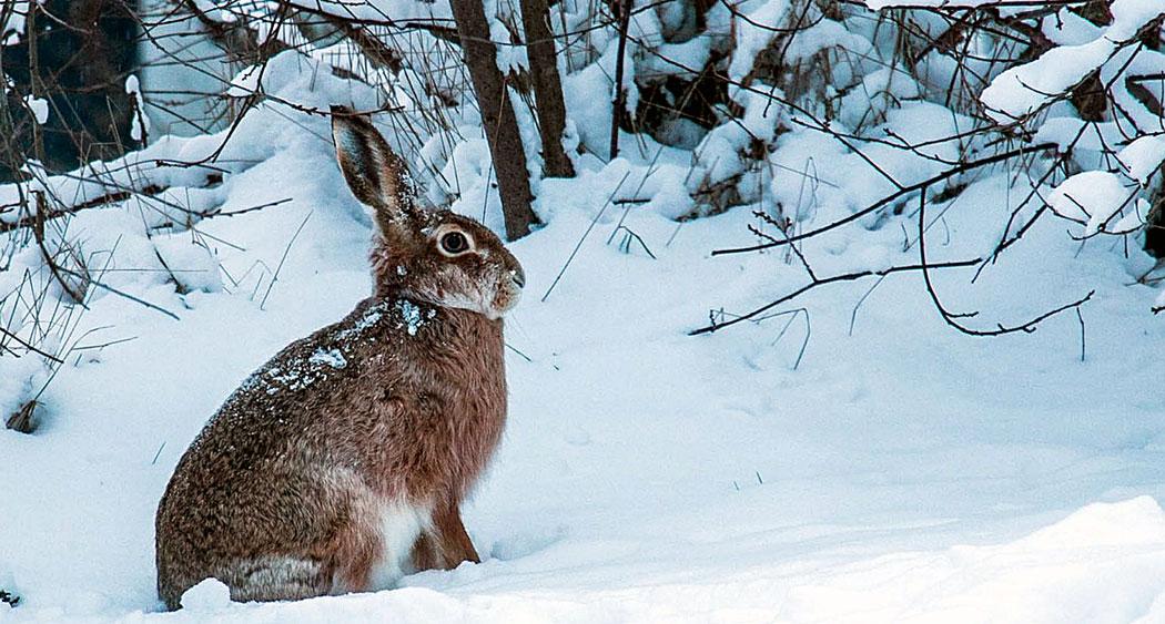 заек през зимата