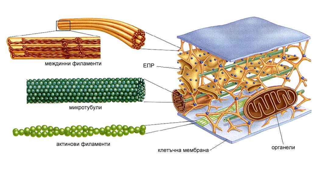 цитоскелет, цитоплазма, цитозол
