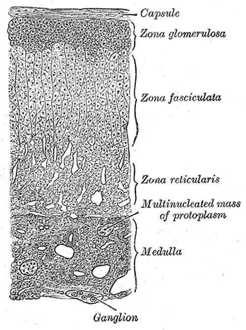 надбъбречни жлези
