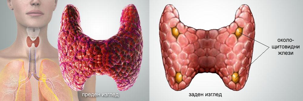 щитовидна жлеза и околощитовидни жлези
