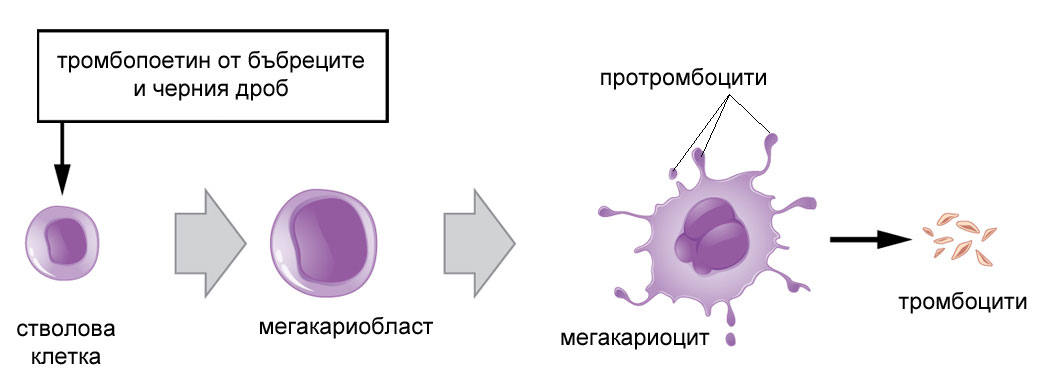 тромбоцити - формиране