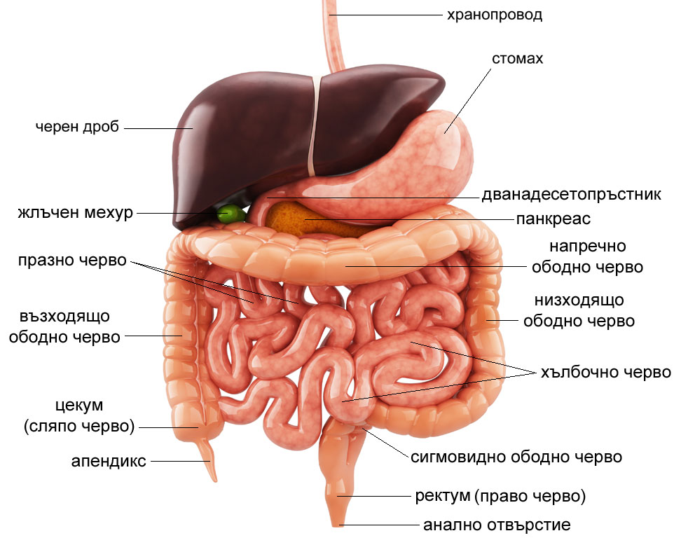 храносмилателна система, храносмилане