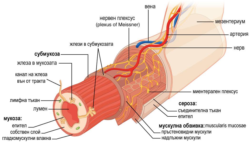 храносмилане и храносмилателна система