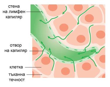 лимфна система, лимфа, лимфни капиляри