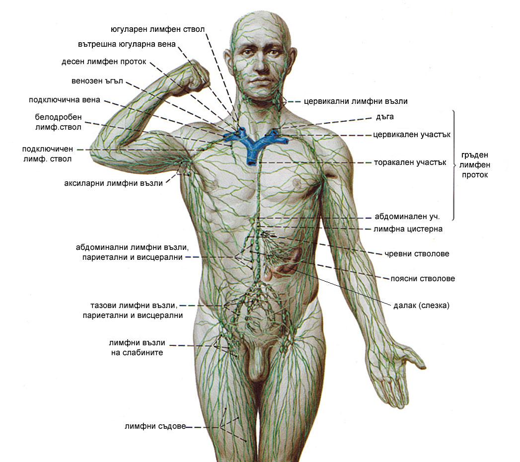Лимфна система, лимфни съдове, лимфни възли