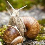 Градински охлюв - Клас Охлюви (Gastropoda)