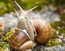 Градински охлюв – Клас Охлюви (Gastropoda)