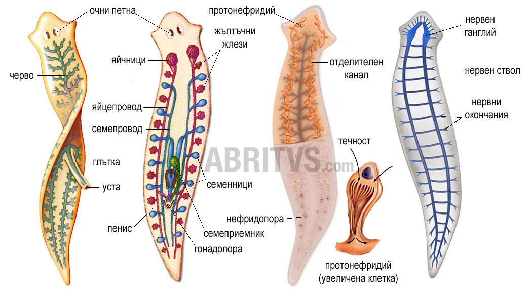 Планария - анатомия