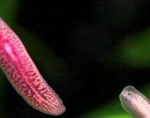 Планария – тип Плоски червеи – клас Ресничести