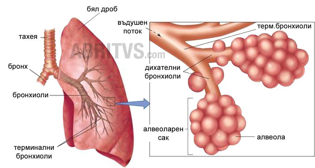 Устройство на дихателна система - бели дробове, бронхи, бронхиоли, алвеоли