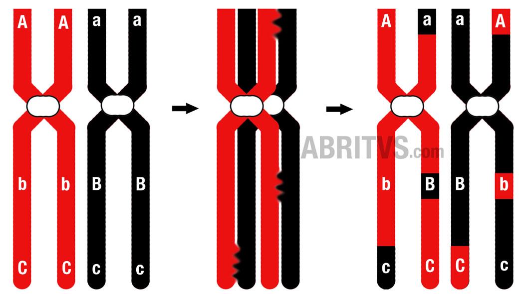 рекомбинативна изменчивост, кросинговър