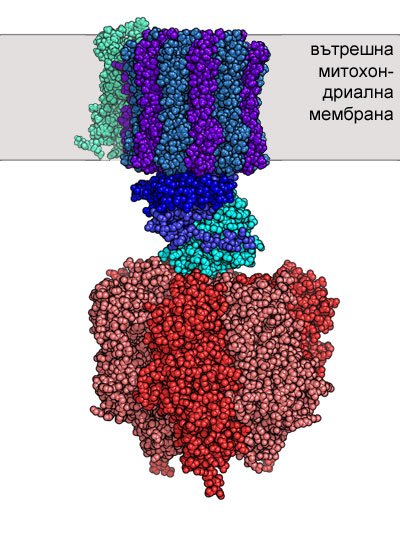АТФ-синтетаза; окислително фосфорилиране