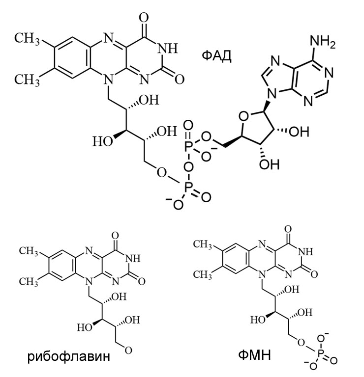 ФАД - ФМН и рибофлавин, динуклеотиди