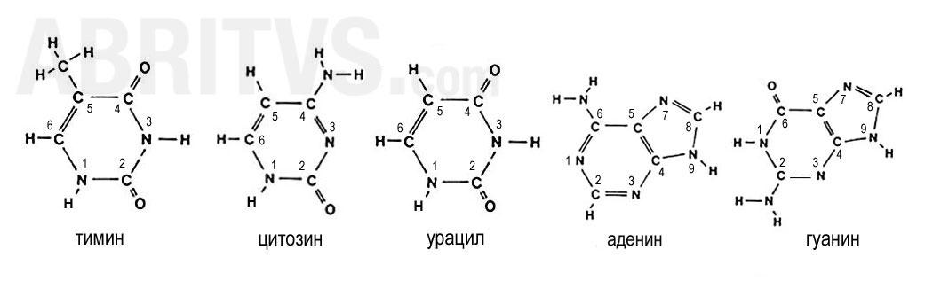 Пиримидинови бази - тимин, цитозин и урацил; Пуринови бази - аденин и гуанин