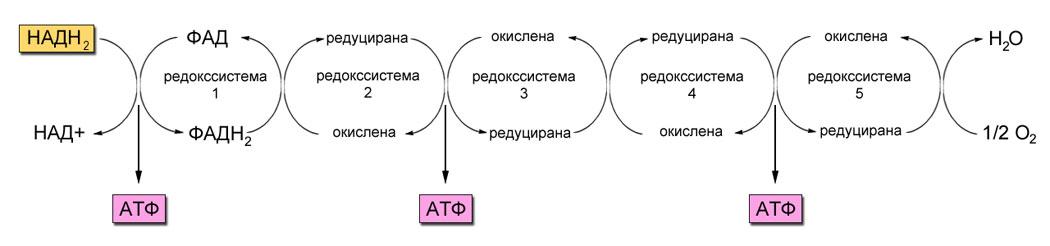 Дихателна верига - схематично изобразяване на редокссистеми